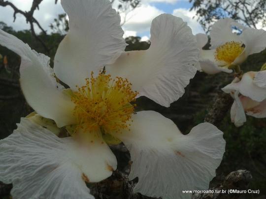 Flor de Pau-Santo